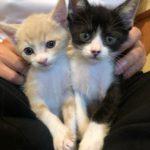 🐈子猫(生後約50日)の里親さんを募集します(再掲)🐈