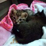 🐱子猫2匹(生後三週間)の里親さんを募集します🐱