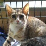 🐈子猫2匹(生後3ヶ月)の里親さんを募集します🐈