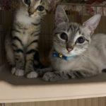 🐈子猫(生後2~3ヶ月)と母猫の里親さん募集しています🐈